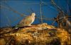 "Sleepwalking (5'20"") Tags: morning nature birds nc dove wildlife raleigh sleepwalking"