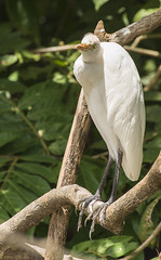 Great Egret (Photo Kubitza) Tags: winter vacation brown white black green bird heron nature animals fauna standing geotagged costarica sitting outdoor perched midday geotag egret greategret alajuela naturephotography heredia riofrio ardeaalba travelphotography canonegro loschiles