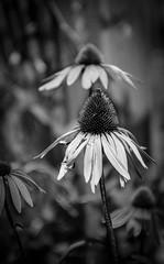 Backyard -1 (*Jofo*) Tags: flowers flower film blackwhite backyard echinacea nikonf100 coneflower kodaktmax100 filmphotography kodaktmaxdeveloper nikkor105mmg josephfolino josephfolinocom torontofilmphotography