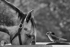 Not one... (firstlookimages.ca) Tags: blackandwhite bw detail birds animals artistic farm farmanimals digitalphotography digitalmanipulation feedingstation