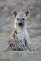 iena-dic.2015_0076 (Marco Pozzi photographer (750k+ views, thanks)) Tags: africa southafrica hyena krugernationalpark kruger pozzi iena sudafrica specanimal marcopozzi marcopozziphotographer