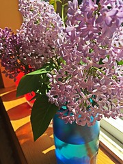 Lilacs (opal c) Tags: shadow violet bunch bloom lilacs
