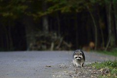 Raccoon (Bert de Tilly nikon shooter) Tags: wild animal animals forest photography nikon photographer wildlife ngc picture raccoon animalplanet wildlifephotographer ratonlaveur nikonshooter animalsworld d810 200400vr flickrone wildphotographer iamnikon animalspic
