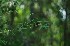 Tiny Fern Leaf Bamboo (bamboosage) Tags: russia m42 402 helios preset 1585