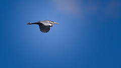 Hover (Alexandre LAVIGNE) Tags: nature bleu ciel vol hron louisengival pentaxk3 format169eme smcpentaxda300mm14sdm hdpentaxdaaf14xaw
