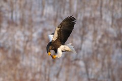 Japan. (richard.mcmanus.) Tags: bird japan hokkaido wildlife getty eagles raptors stellersseaeagle rausu