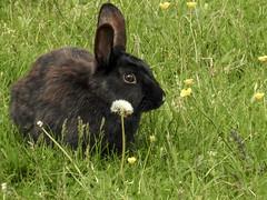 oooh il coniglietto ooh (conteluigi66) Tags: verde erba prato nero animale coniglio coniglietto luigiconte