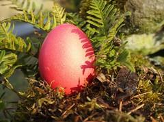 Sonnige Ostergre (dorotheazinsser) Tags: macro rot natur eier lichtundschatten 52wochenfotochallenge