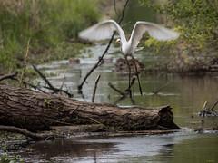 Silberreiher/ egrets (Ardea alba) (Apertur1) Tags: bird 100400mm vogel egrets ardeaalba mft silberreiher ft