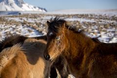 cheveaux (11) (OliPhil_997) Tags: horses iceland islande cheveaux