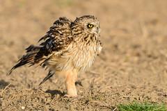 Coruja-do-nabal | Short-eared-owl | Asio flammeus (Álvaro Nunes) Tags: shortearedowl asioflammeus corujadonabal