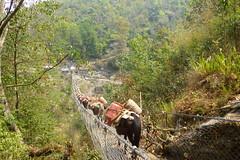 Die Hngebrcke war bereits besetzt... (Alfesto) Tags: nepal animal trekking tiere hngebrcke hangingbridge maulesel juving kharikhola taksindu distriktsolukhumbu