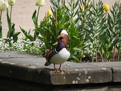 Mandarin duck (the_crow_19_78) Tags: warsaw mandarinduck birdwatching varsavia anatramandarina