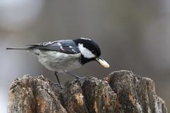 Cincia mora (wolfman1908) Tags: wild nature wildlife natura bosco avifauna naturalmente roseg