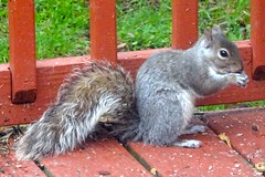 Fuzzy (pecooper98362) Tags: newyork spring squirrel birdfeeder vestal robber scriuriuscarolinensis