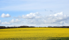 April yellow field (DavidWF2009) Tags: northumberland oilseedrape yellowfield seatonsluice