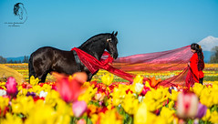 The Black Pearl Friesian Dance Troupe - Tulip Photoshoot ( S. D. 2010 Photography) Tags: horse sunlight silhouette oregon paint photoshoot drum tulip fields arabian jupiter sunlit gypsy cavalli woodenshoe enhanced equine pinto woodburn blackpearl friesian troupe vanner warmblood lightroom5 friesiandance