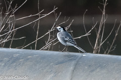 Motacilla alba - White Wagtail (bollejeanclaude) Tags: nature birds belgique photos vogels be oiseaux insectivores passeraux rgionwallonne bergeronettes gheze bassinsdelongchamps rperiedelongchamps