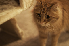Clem Thursday: Wariness (Photo Amy) Tags: red orange pet cute cat fur ginger furry kitten feline tabby longhair adorable fluffy whiskers precious whisker cuddly cuteness longhaired aminal ef50mm18 eartufts toefur canon50d