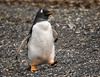 Gentoo Penguin stepping out (alicecahill) Tags: wild patagonia bird southamerica argentina animal tierradelfuego penguin wildlife droh gentoopenguin dailyrayofhope ©alicecahill