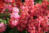 Botanical Gardens, Mass of Pink (Heaven`s Gate (John)) Tags: pink england sunlight detail macro nature closeup garden botanical outside spring birmingham botanicalgardens birminghambotanicalgardens johndalkin heavensgatejohn canoneos5dmarkii