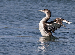Pacific Loon Drying His Wings Or Maybe a Mating Display