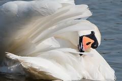Mute Swan March 2016 (study 4) (jgsnow) Tags: bird swan waterbird muteswan