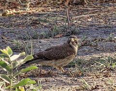 Grasshopper buzzard, Fathala Reserve, Senegal (**Anik Messier**) Tags: africa bird nature animals reserve safari senegal animaux afrique wildness rserve grasshopperbuzzard snral