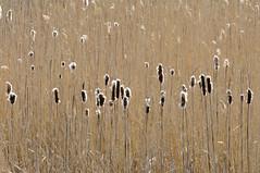 grote lisdodde (Typha latifolia) (jan_vrouwe) Tags: reed water dor bulrush heemskerk littlelake
