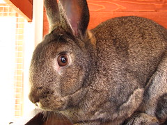 Sherman (Anomieus) Tags: pet cute rabbit bunny bunnies animal furry konijn conejo tail ears rabbits paws coney coelho lapin kaninchen houserabbit coniglio cottontail  cony kanin  krlik leporidae nyl  iepure  leporid    kuni