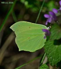 DSC_0045n2 wb (bwagnerfoto) Tags: macro nature up butterfly close outdoor common brimstone schmetterling zitronenfalter gonepteryx rhamni pillang lepke tagfalter citromlepke