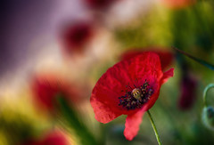 morning april (frederic.gombert) Tags: flowers light summer sun flower macro floral grass garden spring flora poppy poppies greatphotographers macrodreams