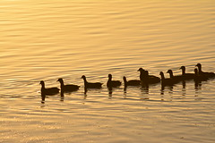 Swimming in the Sun (Luke6876) Tags: sunset reflection bird water animal silhouette wildlife coot australianwildlife eurasiancoot