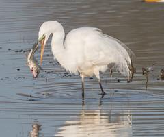 Catch and Release (Deb Felmey) Tags: bird heron nature fishing birding bombayhook
