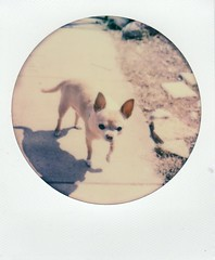 round frame floyd (EllenJo) Tags: arizona dog pet chihuahua home yard polaroid sx70 handsome cutie sonar floyd manualfocus olddog verdevalley 2016 age12 instantfilm thursdayafternoon polaroidweek april21 roundframe almost13 ellenjo ellenjoroberts impossibleproject theimpossibleproject bornin2003 colorinstant afbroken timezeroaf