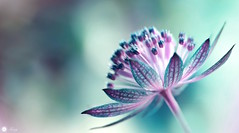 Fragile passion (Trayc99) Tags: pink plant flower creative astrantia floralart masterwort beautyinnature flowerphotography floralphotography beautyinmacro
