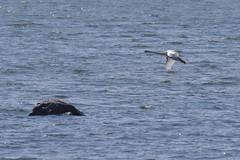 Mute swan about to land (JonasSuni) Tags: sea bird nature water animal fauna suomi finland spring outdoor wildlife vr kevt aquaticbird