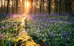 Into the woods (Thierry Hudsyn) Tags: bluebells sunrise dof bokeh earlymorning jacinthes hallerbos shallowdof hyacinths bokehlicious boisdehalle canon6d zeissdistagon35mmf2ze