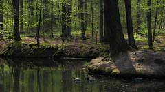 Pond in Spring (Netsrak) Tags: trees tree green water yellow forest reflections germany deutschland duck spring pond woods wasser eifel gelb nrw grn teich ente wald bume baum nordrheinwestfalen reflektion frhling rheinbach forst