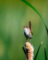 Life is Good! (craig goettsch - On Walkabout) Tags: green bird nature animals nikon colorado wildlife ngc cattails d750 avian 600mm montevistanwr marshwrencistothoruspalustris