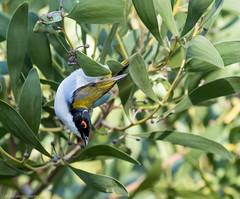 White-naped Honeyeater Melithreptus lunatus Meliphagidae (Mykel46) Tags: nature birds canon honeyeater meliphagidae melithreptus lunatus whitenaped