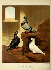 n371_w1150 (BioDivLibrary) Tags: pigeons fieldmuseumofnaturalhistorylibrary bhl:page=49799239 dc:identifier=httpbiodiversitylibraryorgpage49799239