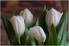A bouquet of spring (FocusPocus Photography) Tags: white flower spring tulips blume weiss frhling tulpen