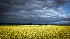 . (Sergio Mora-Gil Crespo) Tags: flowers sky naturaleza flores nature field yellow clouds landscape paisaje amarillo cielo nubes campo