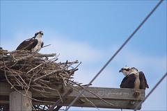 Osprey Pair On Nest (Jeannot7) Tags: bird osprey pandionhaliaetus birdwatcher