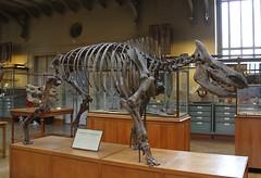 Woolly Rhinoceros Fossil Skeleton (praja38) Tags: life paris france nature museum skeleton mammal europe european caps diversity evolution humour naturalhistory rhino rhinoceros extinct capricorn coelodonta hornless woollyrhino