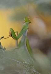 Faire la belle... (isabellebienfait1) Tags: mantis mante religieuse religiosa enjoleuse