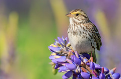Savannah Sparrow (Passerculus sandwichensis) - Richmond, BC (bcbirdergirl) Tags: springhassprung savannahsparrow singing richmond bc passerculussandwichensis fullsong vocalizing song savs metrovancouver adult lupine lupines