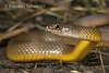 Keelback (Tropidonophis mairii) (Brendan Schembri) Tags: snake reptile kimberley australia brendanschembri tropidonophis mairii keelback freshwater