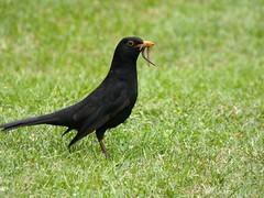 Blackbird (Deanne Wildsmith) Tags: earthnaturelife lichfield staffordshire stowepool bird blackbird